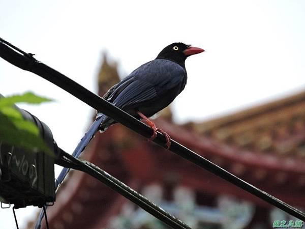台灣藍鵲20140621(1)