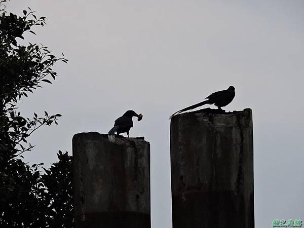 台灣藍鵲20140621(3)