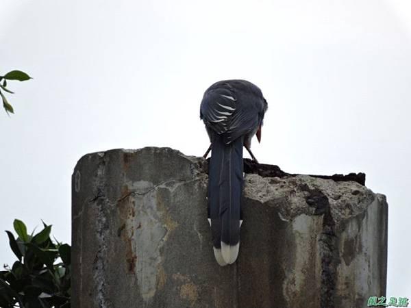台灣藍鵲20140621(6)