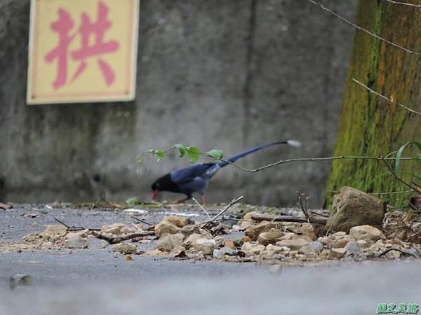 台灣藍鵲20140621(12)