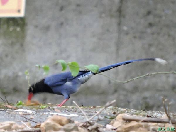 台灣藍鵲20140621(13)