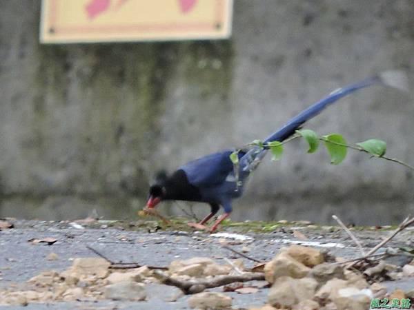 台灣藍鵲20140621(14)