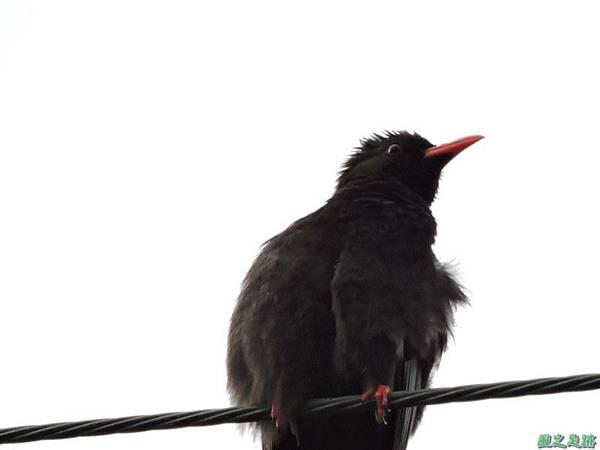 紅嘴黑鵯20140622(3)