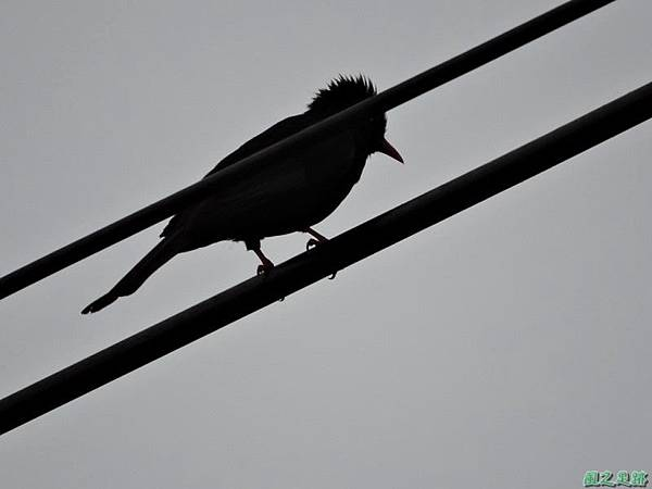 紅嘴黑鵯20140622(9)