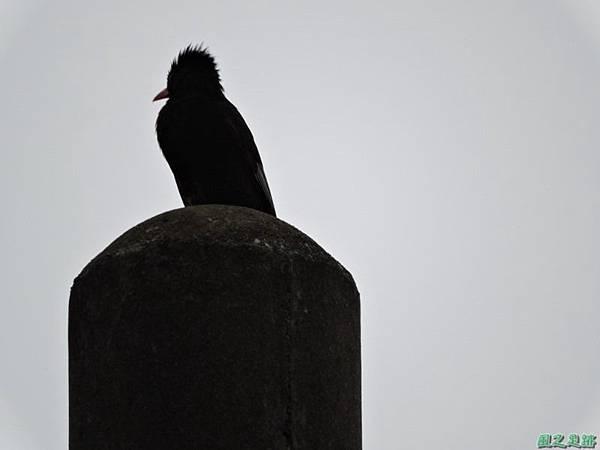紅嘴黑鵯20140622(11)