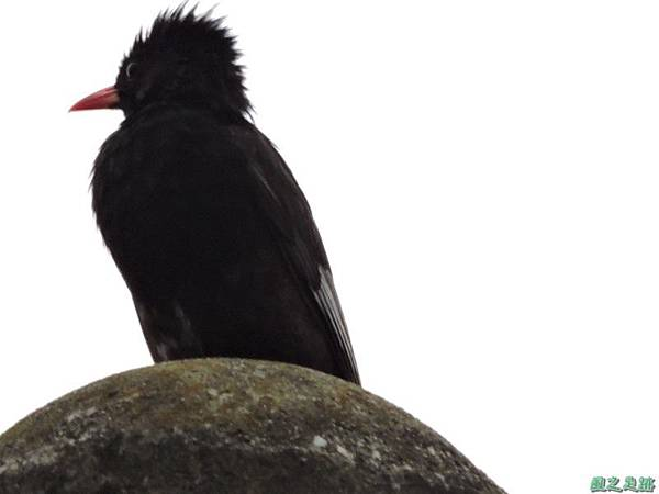 紅嘴黑鵯20140622(12)