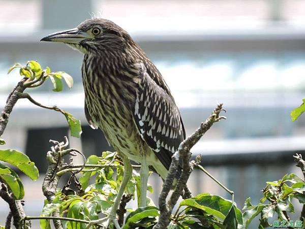 黃頸黑鷺20140705(7)