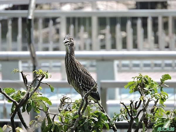 黃頸黑鷺20140705(17)
