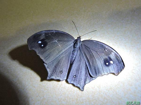 黑樹蔭蝶20140708(14)