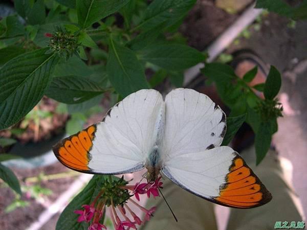 2005026端紅蝶(1)