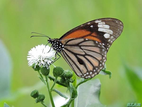 黑脈樺斑蝶20140621(8)
