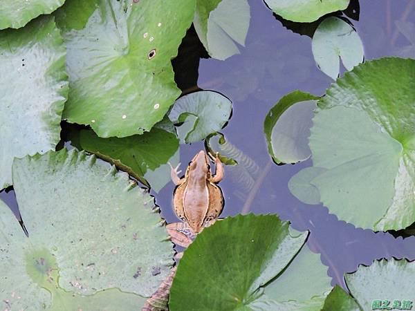 貢德氏赤蛙20140720(1)