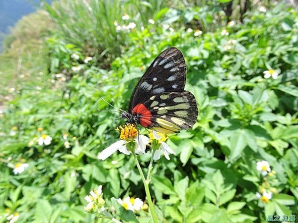 紅肩粉蝶20140819(18)