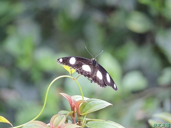 雌紅紫蛺蝶20140818(7)