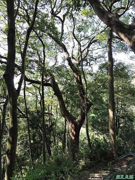 秀巒公園珍貴樹木20141018(6)