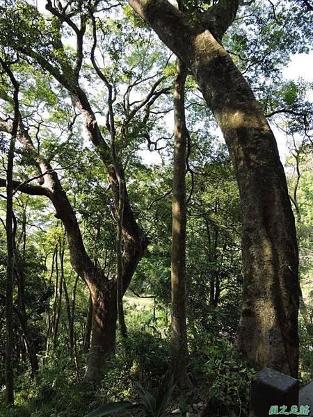 秀巒公園珍貴樹木20141018(9)