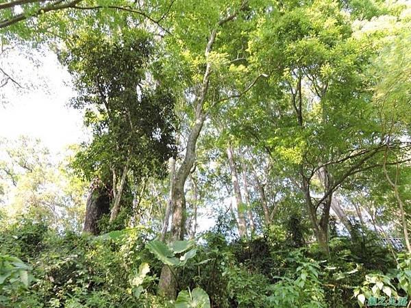 秀巒公園珍貴樹木20141018(23)