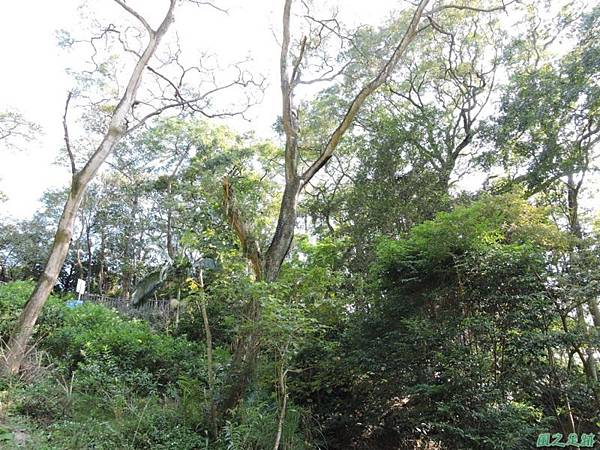 秀巒公園珍貴樹木20141018(26)