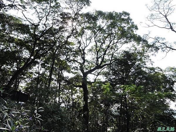秀巒公園珍貴樹木20141018(28)