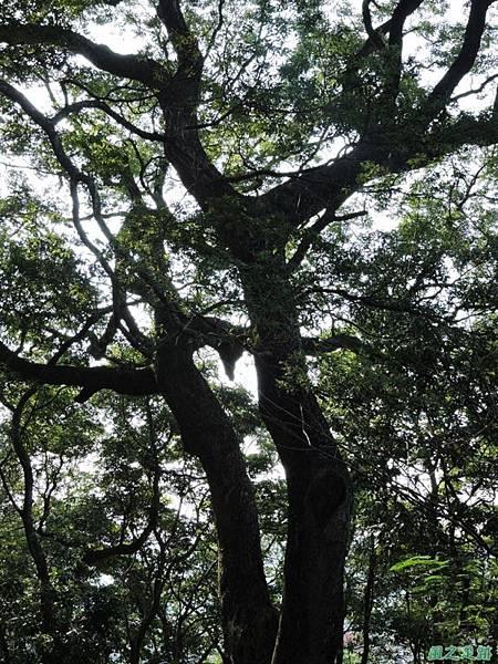秀巒公園珍貴樹木20141018(34)