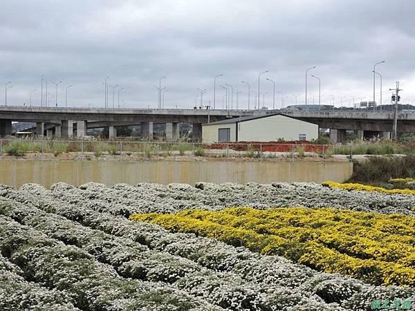 九湖杭菊20141117(8)