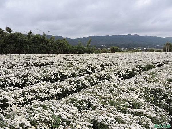 九湖杭菊20141117(12)