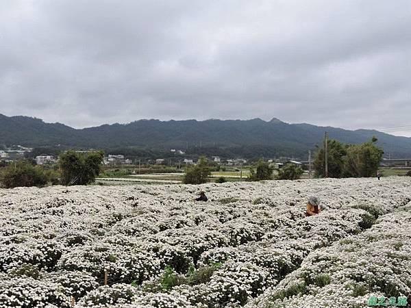 九湖杭菊20141117(13)