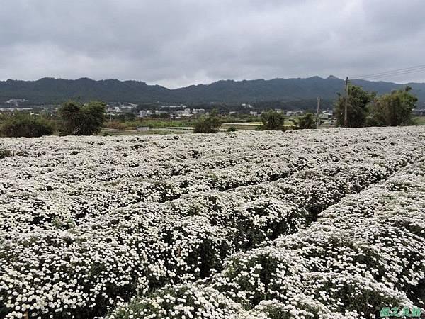 九湖杭菊20141117(14)