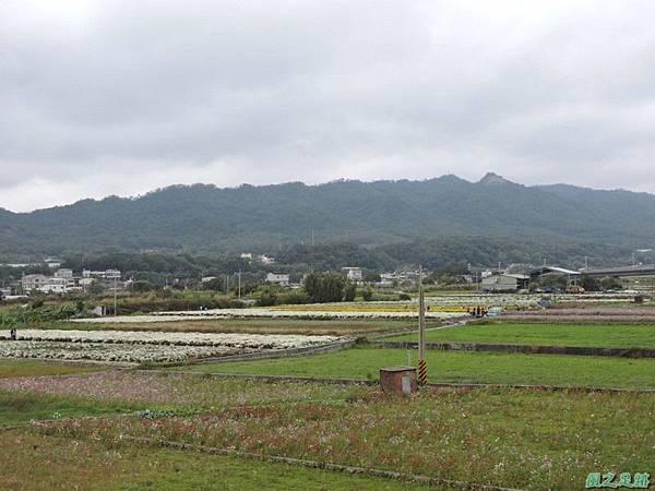 九湖杭菊20141117(15)