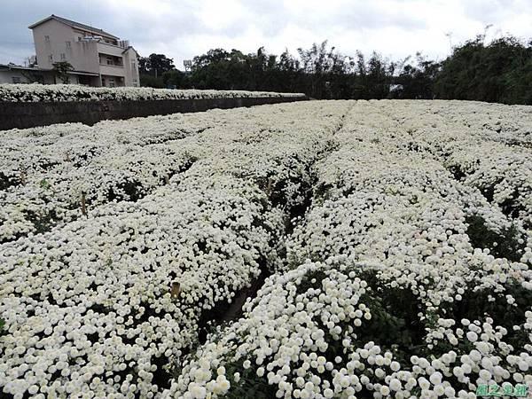 九湖杭菊20141117(16)