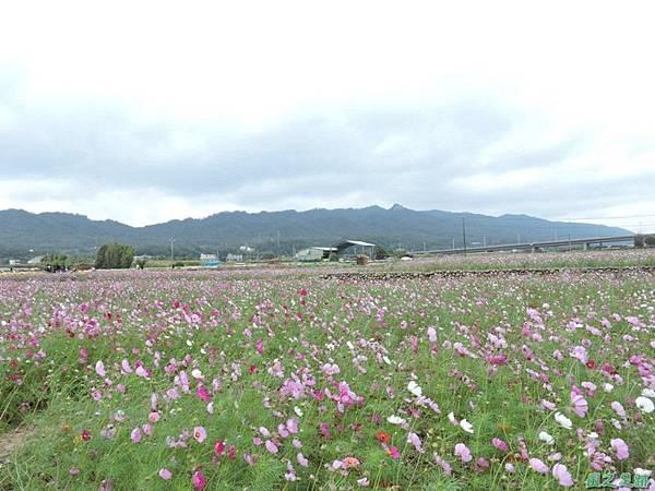 九湖杭菊20141117(21)