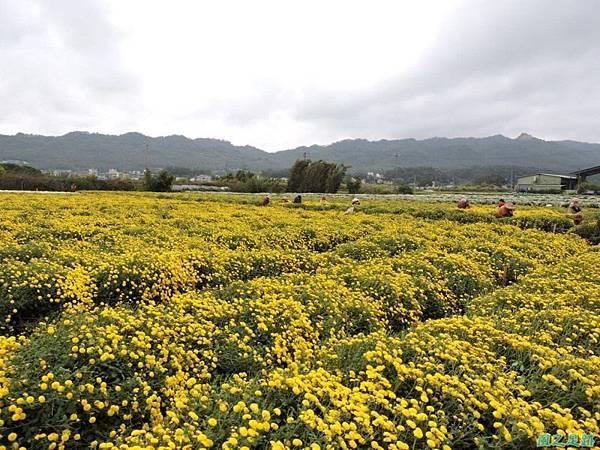 九湖杭菊20141117(29)