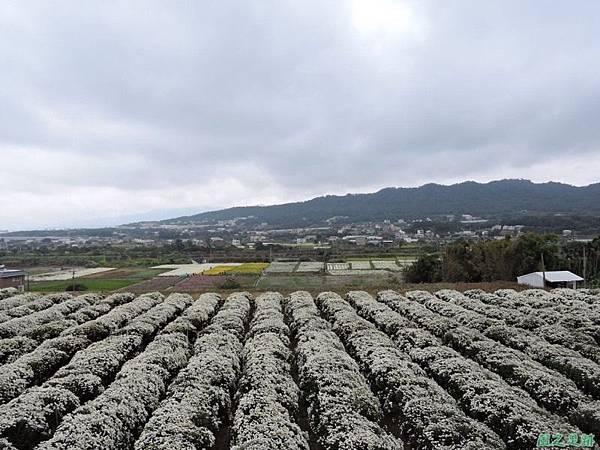 九湖杭菊20141117(41)