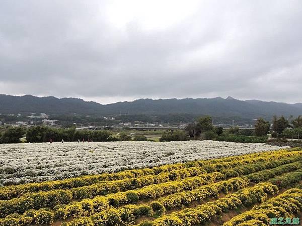 九湖杭菊20141117(42)