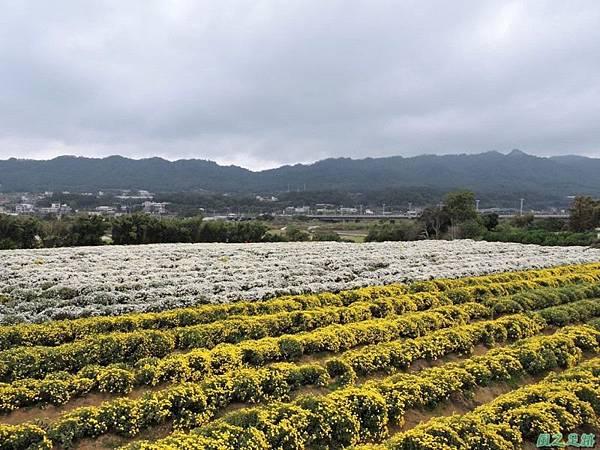九湖杭菊20141117(43)