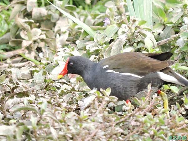 紅冠水雞20141128(6)