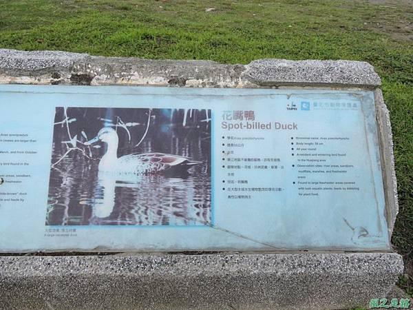 華江雁鴨自然公園2014122(12)