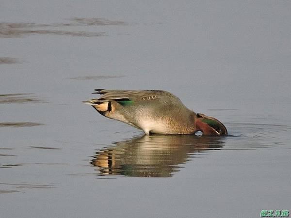 小水鴨20150104(17)
