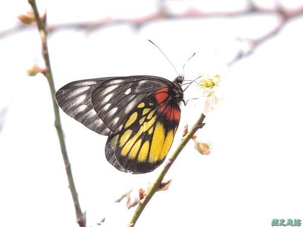 紅肩粉蝶20150119(17)