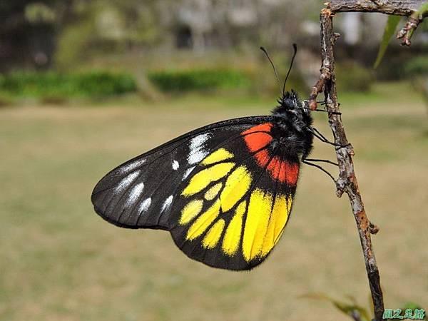 紅肩粉蝶20150119(25)