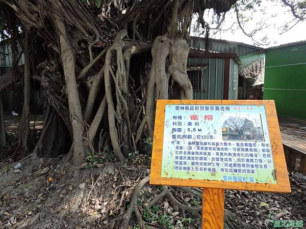 古坑三木公雀榕老樹20150131(2)