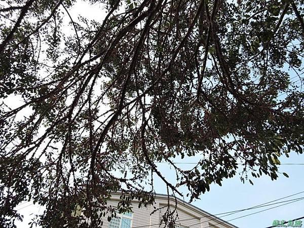 古坑三木公雀榕老樹20150131(3)