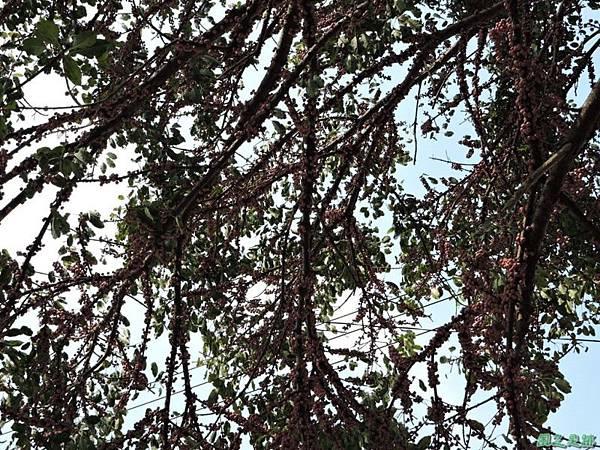 古坑三木公雀榕老樹20150131(8)