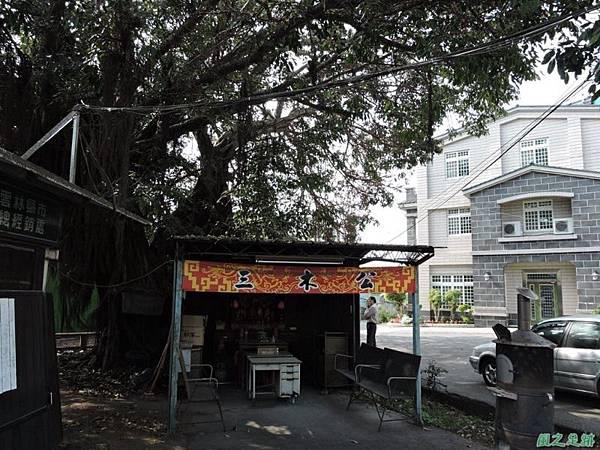 古坑三木公雀榕老樹20150131(9)