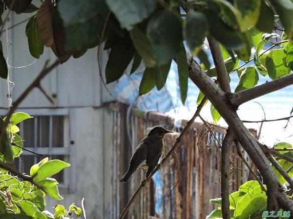 古坑三木公雀榕老樹20150131(13)