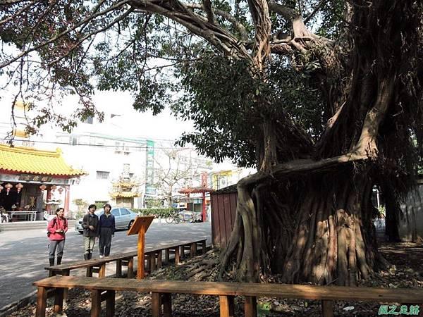 古坑三木公雀榕老樹20150131(16)