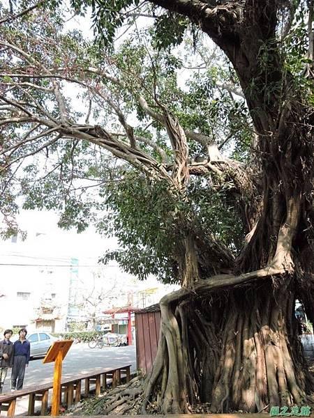 古坑三木公雀榕老樹20150131(17)