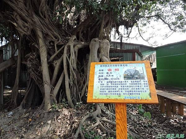 古坑三木公雀榕老樹20150131(18)