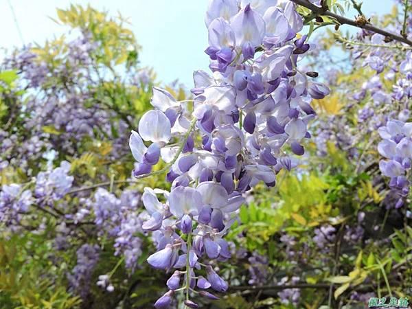 紫藤20150328(11)