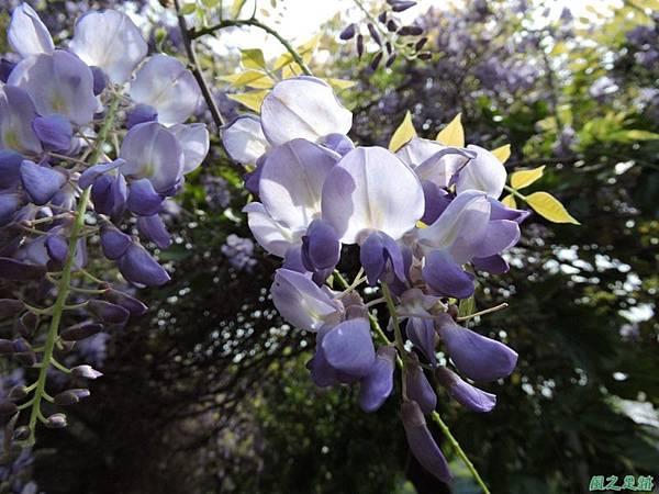 紫藤20150328(23)